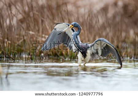 A Tri-colored Heron hunting for fish.