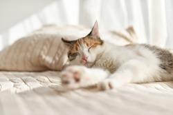 A tricolor kitten sleeping in the sun