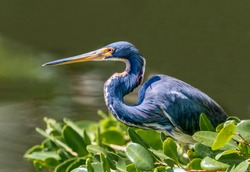 A tricolored heron, formerly know as the Louisiana heron, perches on a branch over the water waiting on its next meal to swim below.