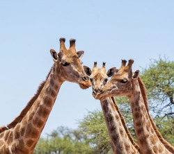 A trio of Giraffes in Southern African savanna
