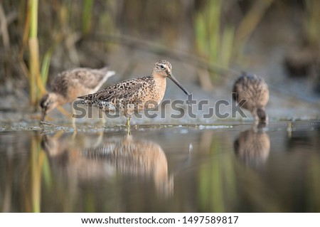 A trio of Short-billed Dowitchers stand in shallow water with one in front with a water drop off its bill.