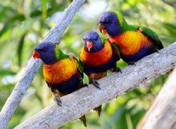 A trio of wild rainbow lorikeet parrots in Australia
