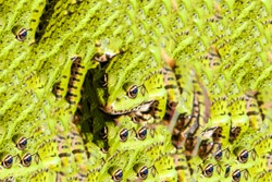 A trippy image of an exotic frog multiplied several times for hallucinogenic effect