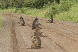 A troop of Chacma baboons sitting spread out on the dirt road in Kruger National Park.