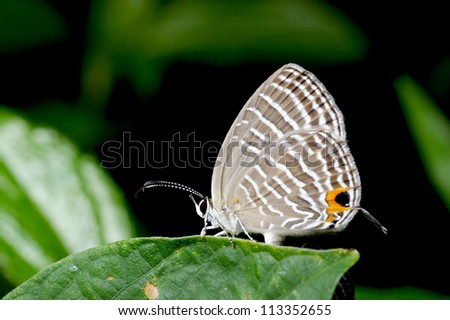 A tropical Gram Blue butterfly on the leaf