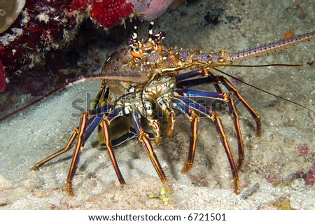 A tropical lobster is out of its crevice during the daytime.  They are nocturnal feeders (feed at night) and usually are hidden during the day.