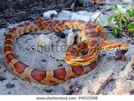 A tropical looking snake coiled in the sand - Corn Snake, Pantherophis guttata
