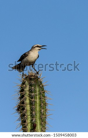 A tropical mockingbird is singing on top of a cactus on a nice sunny day