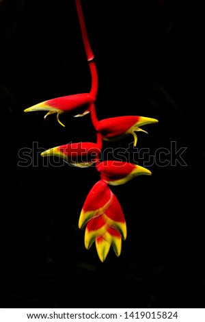 A tropical plant named Hanging Lobster Claw (Heliconia rostrata) hangs downwards in striking contrast against a black background.Inflorescence and backlit - Image