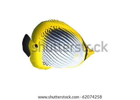 a tropical striped butterfly fish isolated on white background