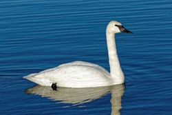 A Trumpeter Swans swims across the water. These beautiful birds were once nearly wiped out in Iowa but can now be found across the state especially during the winter months.