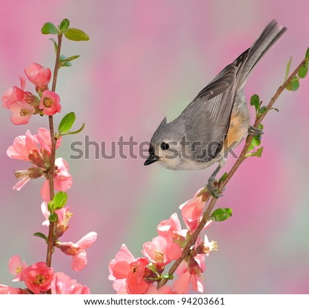 A Tufted Titmouse (Baeolophus bicolor) on flowering quince.