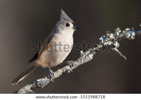 A tufted titmouse perched on a branch. #1551988718