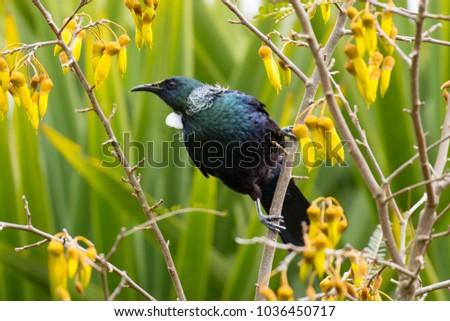 A Tui bird (Prosthemadera novaeseelandiae) feeding on Kowhai nectar in Taupo, New Zealand.