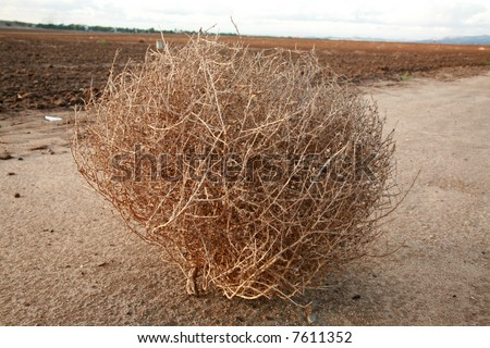 "a tumble weed aka ""Salsola"" ""Saltwort or Russian thistle"" sits on a dirt road"