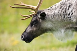 A Tundra Reindeer (Rangifer tarandus) in northern Canada. In North America reindeer are known as Caribou.