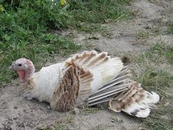 a turkey bird lies on the ground