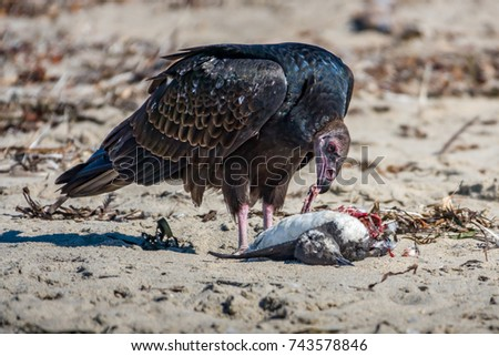 A turkey vulture (Cathartes aura), also know as a turkey buzzard, eating carrion (a small seabird) on a sandy beach along the Pacific coast of of Monterey Bay, in central California.