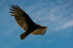 A Turkey Vulture flies over Snook Creek Boat Ramp in Fort Lauderdale, Florida. Turkey Vultures are accustomed to living near humans and snacking off of our leavings.