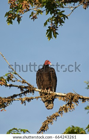 A Turkey Vulture is perched in a Big Leaf Maple tree near Shelton, WA, USA.