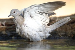 A Turkish turtledove tries to mitigate the high temperatures of the summer heat