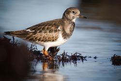 A turnstone bird stood in a rockpool