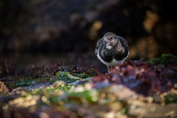 A turnstone foraging through seaweed in a rockpool