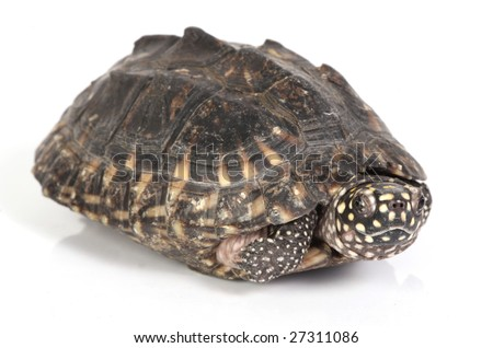 Turtle coming out of its shell stock photo 27311086 shutterstock