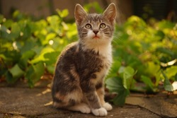 A turtle kitten sits near fresh green grape leaves and looks up. Side view. Cute pets. The pet is resting in the garden.