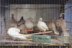 A turtledove bird in a cage