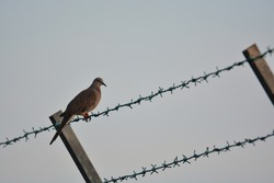 A turtledove bird on green barb wired fence