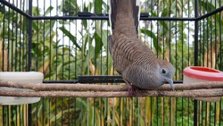 a turtledove closeup with wood infront of blurry tree of corn baground