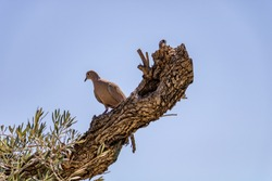 A turtledove lying on a trunk of an olive tree