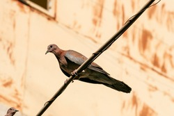 A turtledove perched on a wire