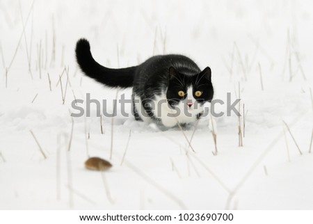 A tuxedo pattern black and white bicolor cat, European Shorthair, hunting a mouse, keeping a close eye on its prey just before the attack in a snow covered field on a cold winter day, Germany