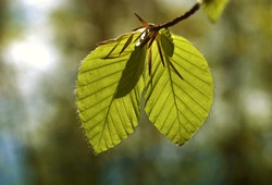 a twig with raw hornbeam leaves