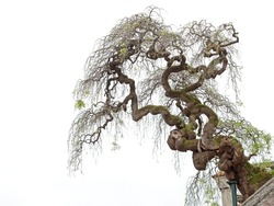 A twisted tree, grown on a building, isolated on a white background