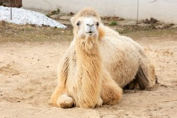 A two-humped camel.  It is well adapted to living in a dry climate with hot and dry summers, and can go without water for a long time. The natural color of the two-humped camel is brown-sand in variou