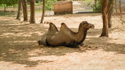A two-humped camel resting in the shade of the trees. Animals.