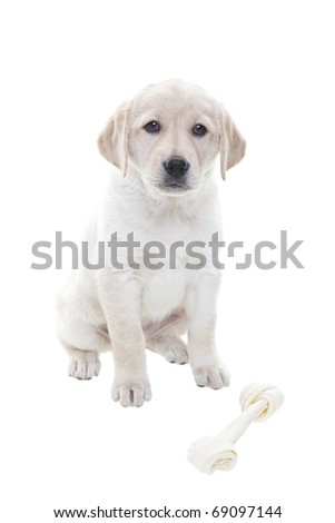A two month old Golden Retriever puppy with bone.  Shot on white background.