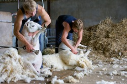 A two shot of young farmers shearing wool from sheep in a barn.
