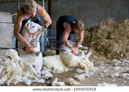 A two shot of young farmers shearing wool from sheep in a barn. Foto d'archivio ©