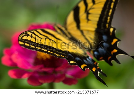 A Two-tailed Swallowtail Butterfly (Papilio multicaudata) sips nectar from a colorful zinnia in an Arizona garden.