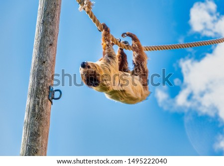 A Two Toed Sloth hanging upside down while walking along a rope
