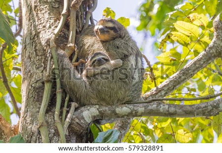 A Two Toed Sloth with her Baby Sloth