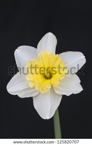 A two tone daffodil isolated on a black background