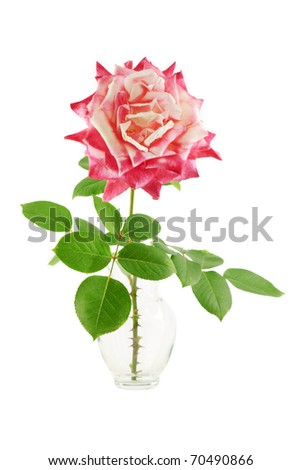A two tone deep pink rose in a vase green leaves, isolated on a white background