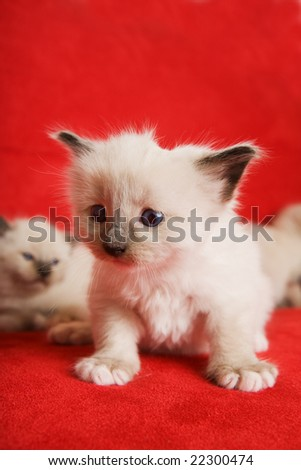 A two week old Siamese on a red background