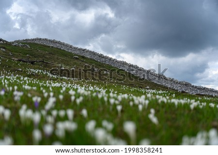 a typical Dry stone wall near Mont Tendre in the Jura Vaudoise with crocuses Photo stock ©
