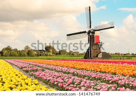 A typical Dutch composition of a mill with red orange pink and yellow flowering Tulip fields in the foreground against a Dutch cloudy sky